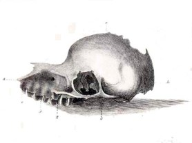 'The so-called Bunyip skull', Henry Dowling, John Murray - Reproduced from The Tasmanian Journal of Natural Science
